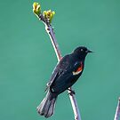 Red Winged Black Bird by EthanQuin