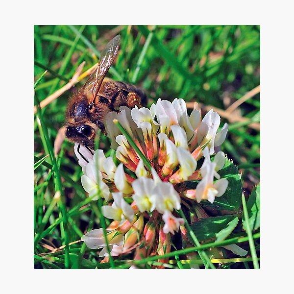 Bee On Flower 0027 Photographic Print