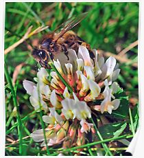 Bee On Flower 0041 Poster