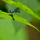 Damselfly in Hiding by LeeAnne Emrick