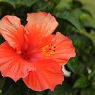 orange hibiscus by Deweyreg