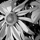 Sunflower by Cari Jo Blain