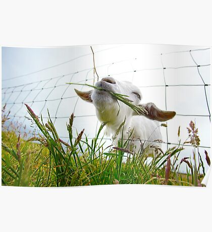 Irish Goat Poster