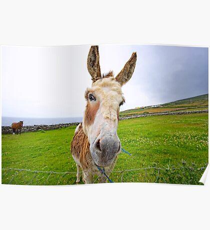 Dingle Donkey Poster