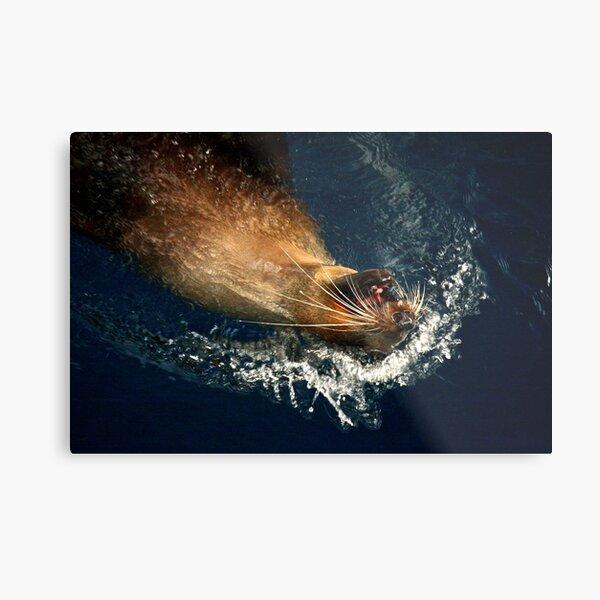 Australian Fur Seal Metal Print