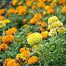 Marigold Flowers by Sunil Bhardwaj