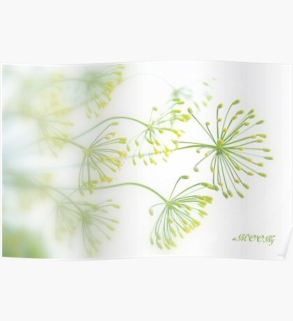 Dill flowers Poster