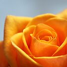 Close Up Photo of Yellow-Orange Rose by thed4rkestrose