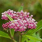 Swamp Milkweed (Asclepias incarnata) by Mike Oxley