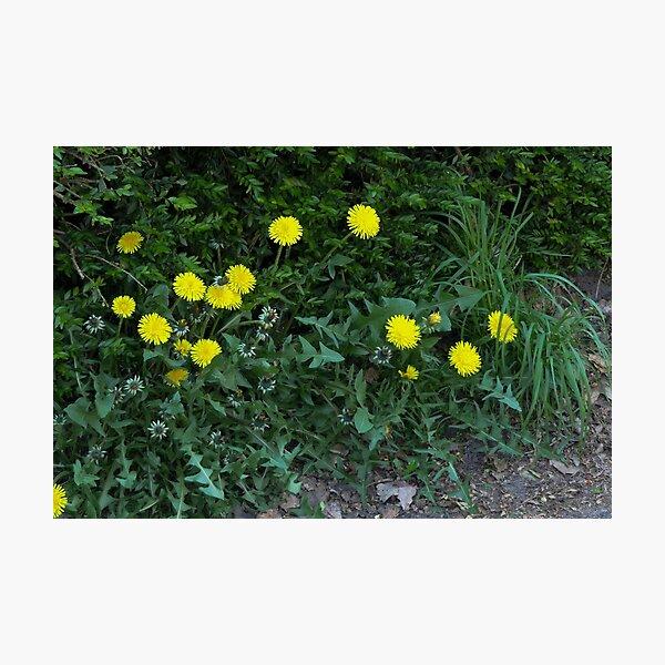 Just simple Dandelions Photographic Print