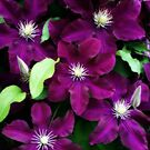 Regal Group Of Clematis by kkphoto1