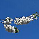 Spring Blossom von BlueMoonRose