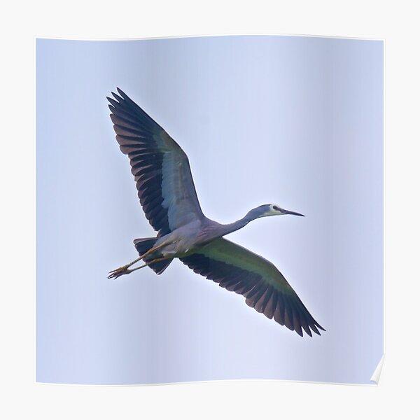 WADER ~ White-faced Heron by David Irwin Poster