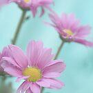 daisy dreams by picketty