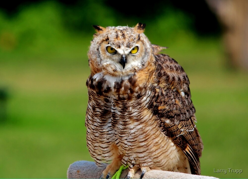 Juvenile Great Horned Owl by Larry Trupp