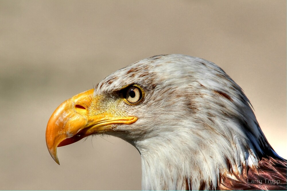 Eagle Profile by Larry Trupp