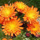 bright and breezy - orange wild flowers by monkeyferret