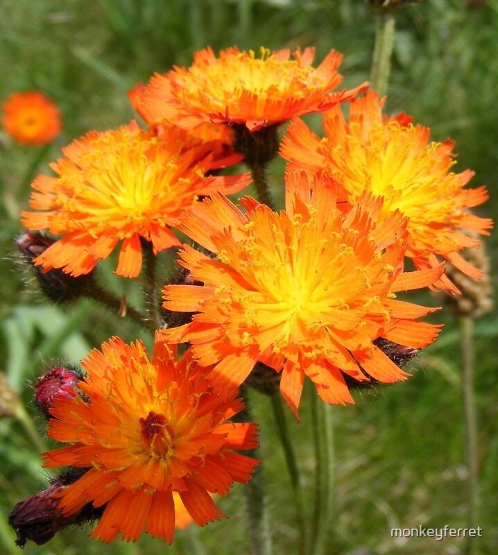 """bright as the sun - orange wildflowers"" by monkeyferret ..."