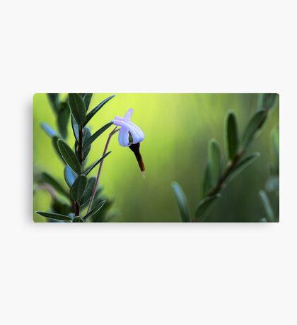 Bog Cranberry Flower - Brownfield Bog Canvas Print