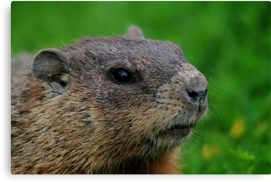 Woodchuck Profile by Larry Trupp