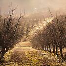 Orchard in Winter Fog, Cradoc, Tasmania by Chris Cobern