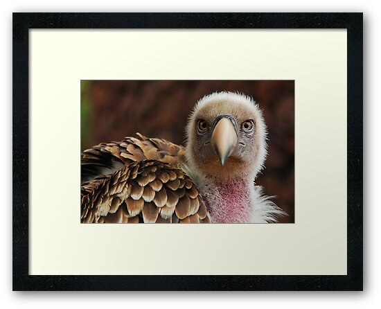Griffin Vulture (Gyps fulvus)  by Stephen Liptrot