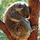 Snuggle tight_Koala by Sharon Kavanagh