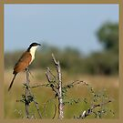 Coppery-tailed Coucal by Yves Roumazeilles