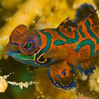 Mandarin Fish, Kimbe Bay, Papua New Guinea by Erik Schlogl