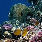 The Exquisite Butterflyfish In The Red Sea With Colorful Corals by hurmerinta