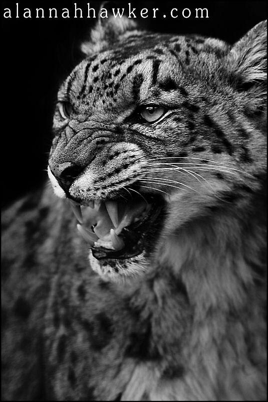 Snow Leopard 02 by Alannah Hawker