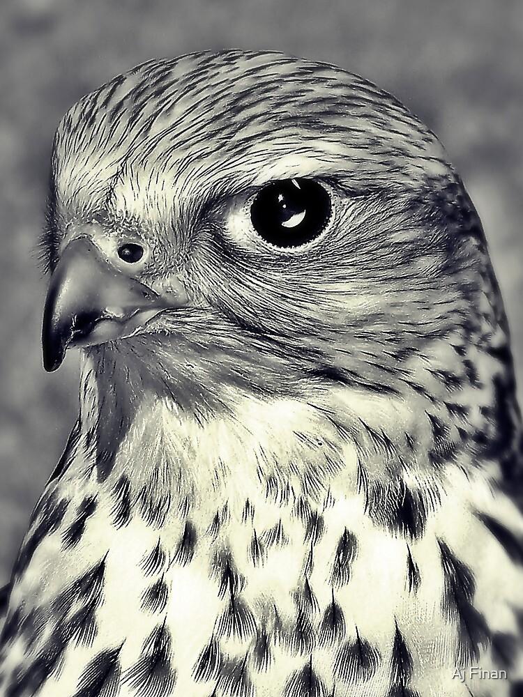 The Stare Of A Saker Falcon. by Aj Finan