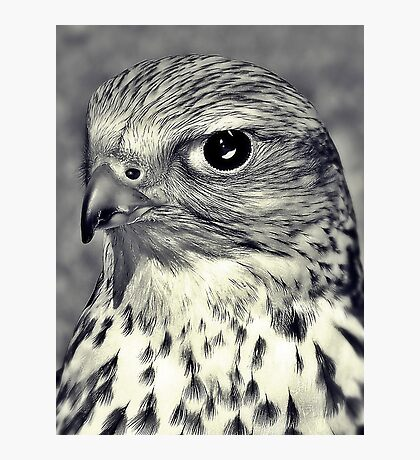 The Stare Of A Saker Falcon. Photographic Print