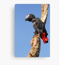 African Grey Parrot - (Psittacus erithacus) Canvas Print