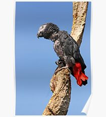 African Grey Parrot - (Psittacus erithacus) Poster