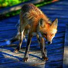 Red Fox by Larry Trupp