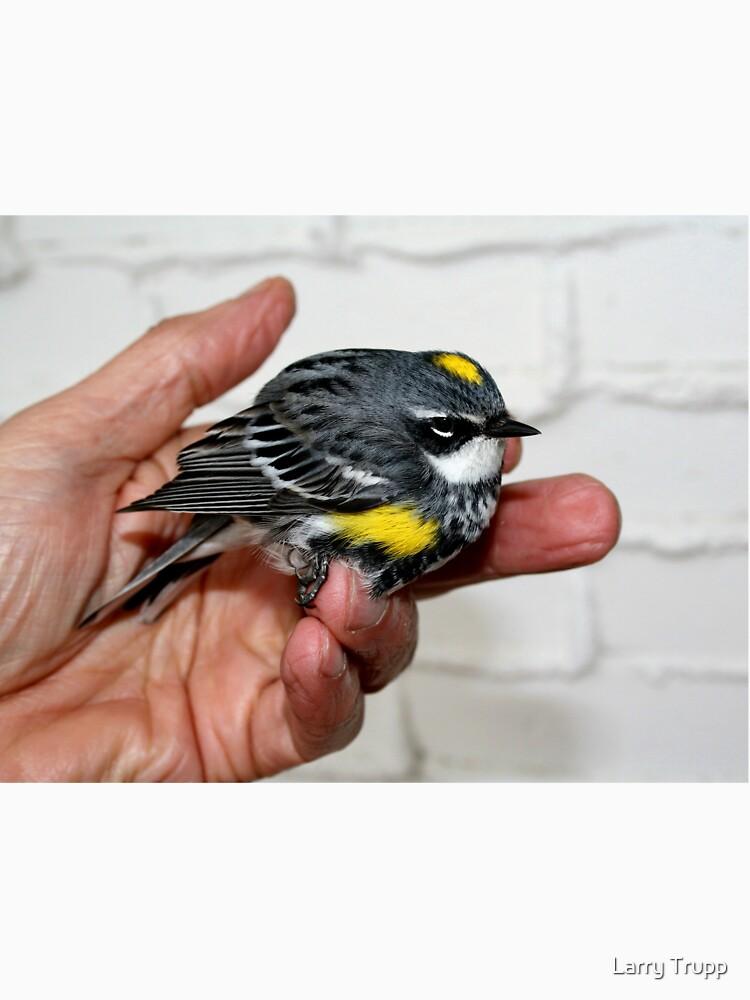 Yellow Rumped Warbler by umpa1