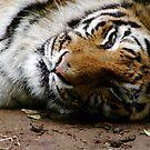 Sumatran Tiger by Ashlee Betteridge