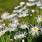 Daisy by Karina Walther