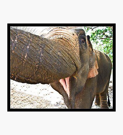 Smiling Elephant, Thailand Photographic Print
