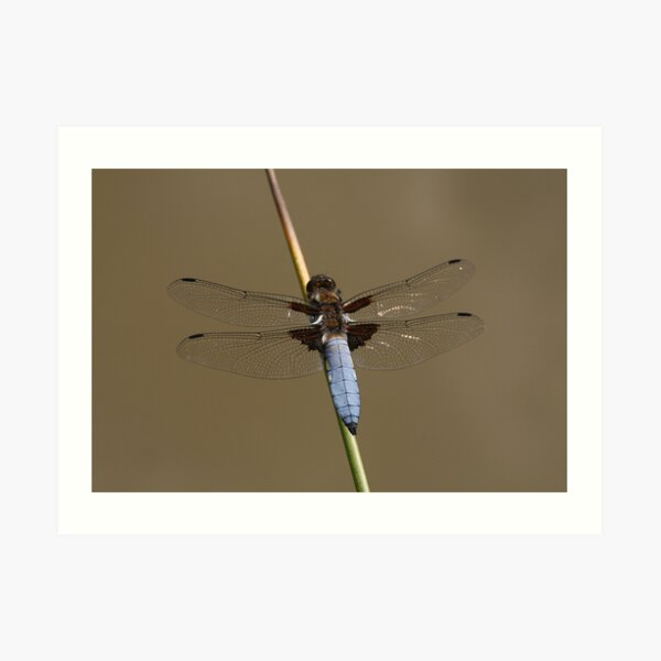 Broad-bodied Chaser Dragonfly Art Print