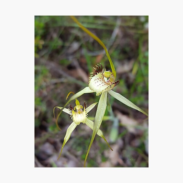 Bussell's Spider Orchid Photographic Print