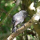 A shy bird - North  Island Robin,  by Roy  Massicks