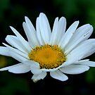Lone Daisy by Samantha Higgs