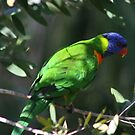 Lorikeet Resting by jansimpressions