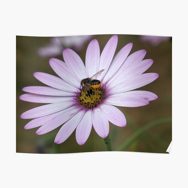 Bee collecting pollen from flower Poster