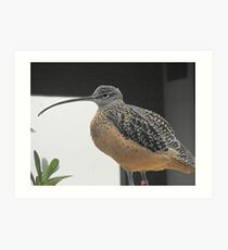 Long billed Curlew Art Print