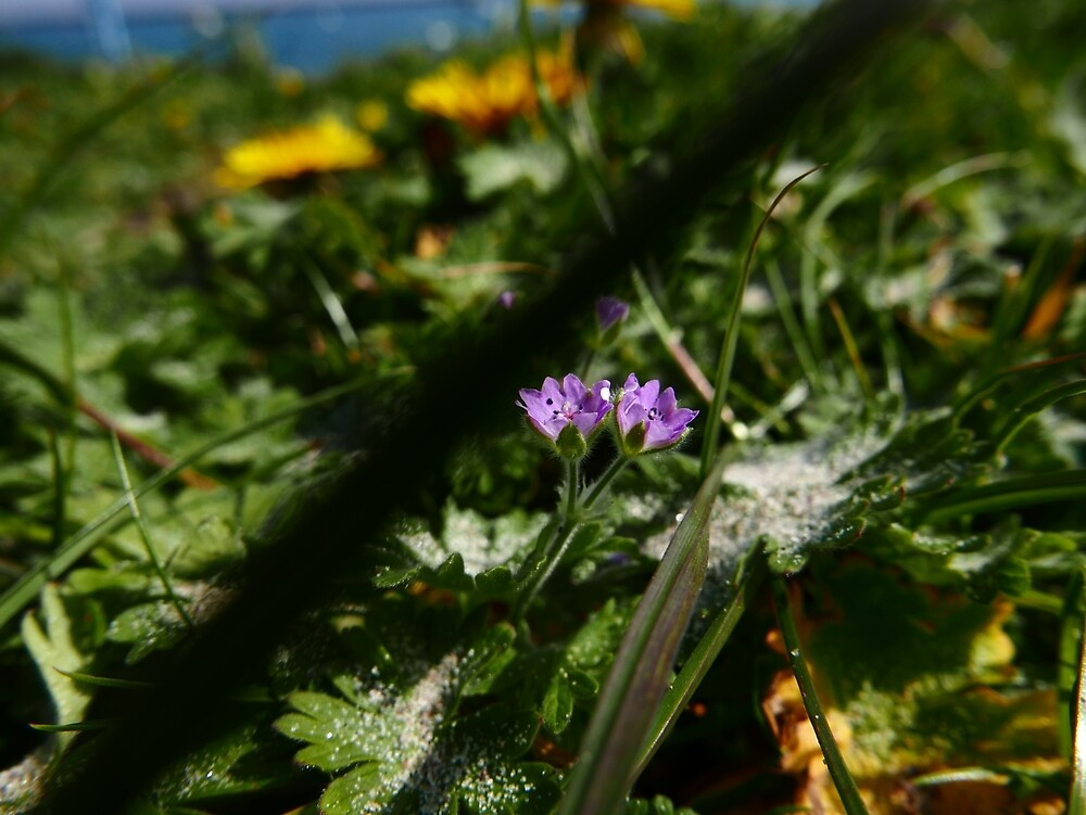 Dove's-foot Cranesbill (Geranium molle) by IOMWildFlowers