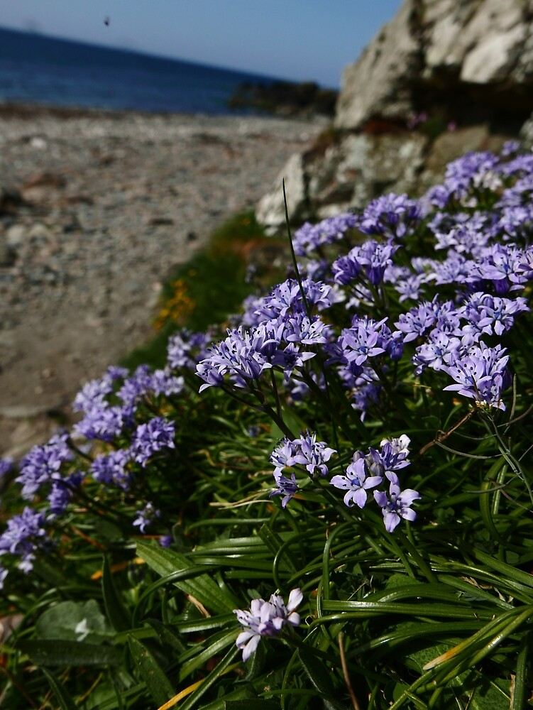 Spring Squill (Scilla verna) by IOMWildFlowers