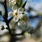 Greengage blossom by Sophia Grace